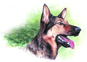 Loved Shepherd ~ watercolour by Patrice