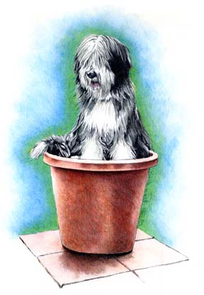 Beardie in a Pot ~ Illustration by Patrice