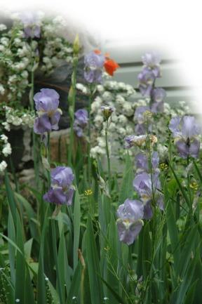 Iris ~ photo by Patrice