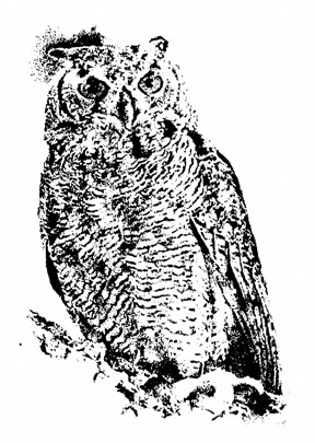 Owl ~ Illustration by Patrice