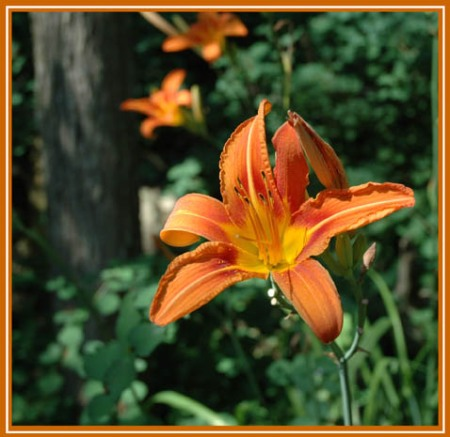 Orange Lily ~ Photo by Patrice