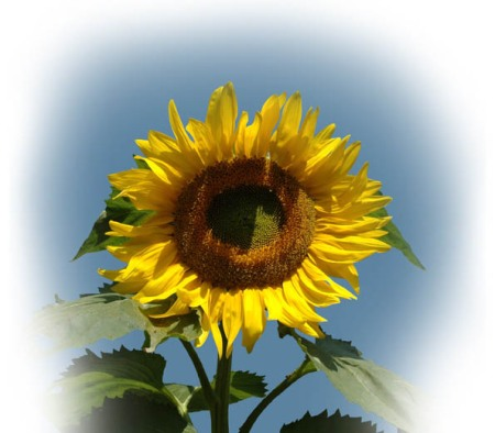 Sunflower ~ photo by Patrice