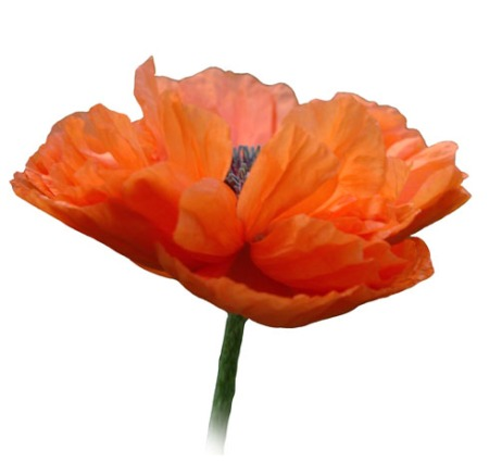 Poppy in Remembrance ~ photo by Patrice
