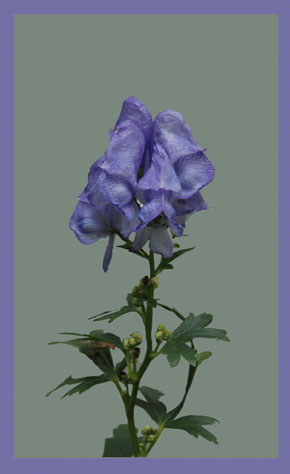 Monkshood ~ Photo by Patrice