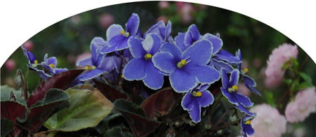 Blue Violets ~ Photo by Patrice