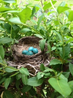 Robin's Nest and four Eggs ~ Photo by Patrice