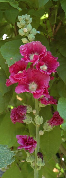 Hollyhock in Spring ~ photo by Patrice