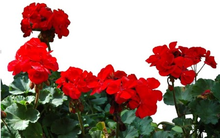 Red Geraniums ~ Photo by Patrice