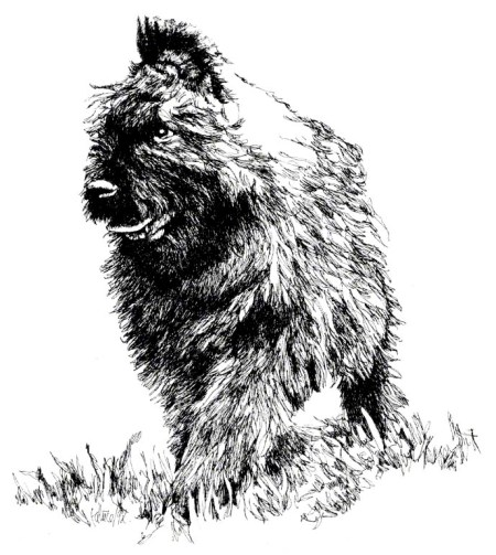 Bouvier Pup ~ Illustration by Patrice