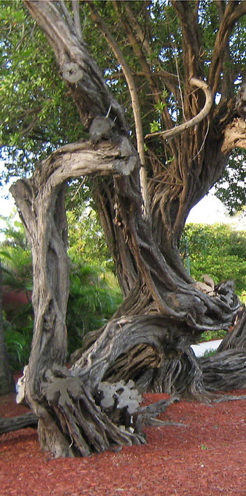 Gnarled Tree in Arbua ~ photo by Patrice