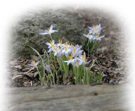 Crocus in spring ~ Photo by Patrice