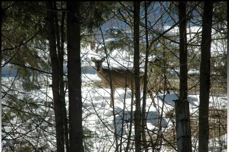 Deer watching ~ photo by Patrice