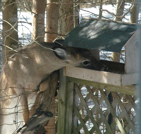 Doe at Feeder ~ photos by Patrice