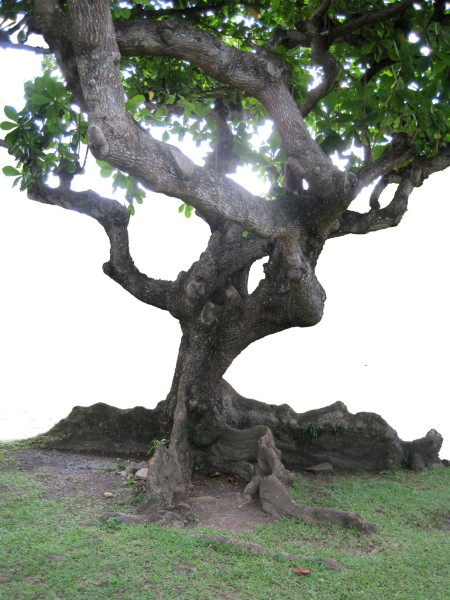 St. Lucian Mighty Tree ~ Photo by Patrice