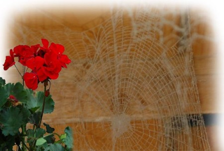 Cobwebs  and Geraniums ~ photos by Patrice