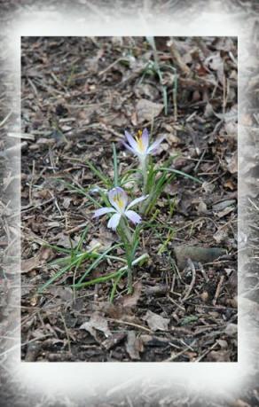 Spring Crocus ~ photo by Patrice