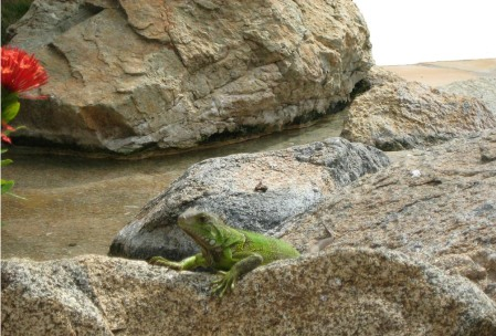 Water and Iguana ~ photo by Patrice