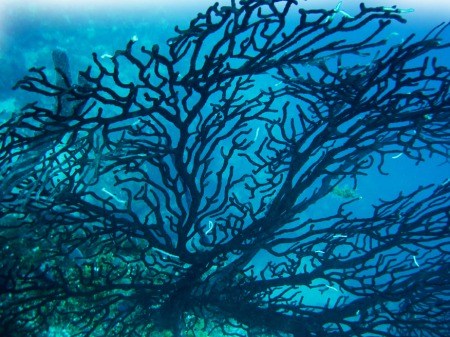 Black Coral ~ Photo by Brent