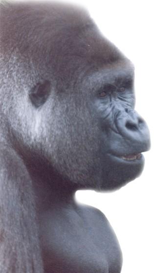Gorilla ~ photo by Patrice