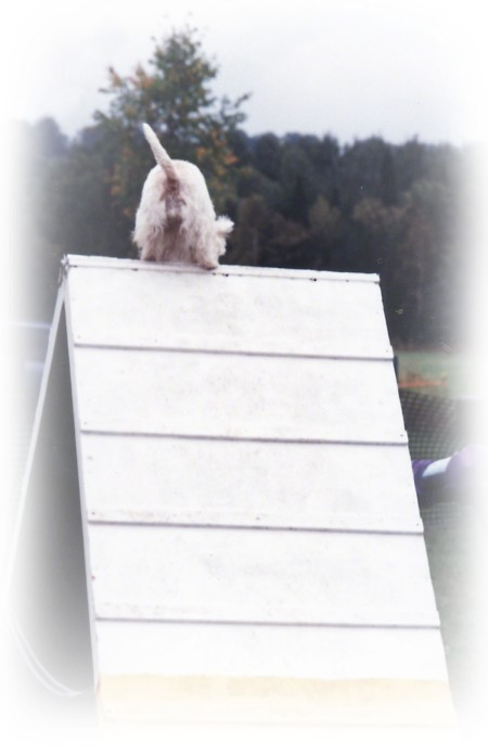 Maggie in Agility ~ Photo by Patrice