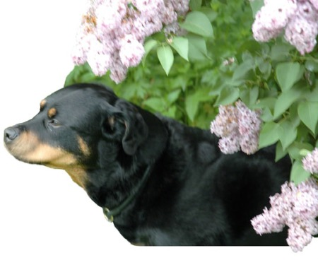 Ursa in lilacs ~ Photo by Patrice
