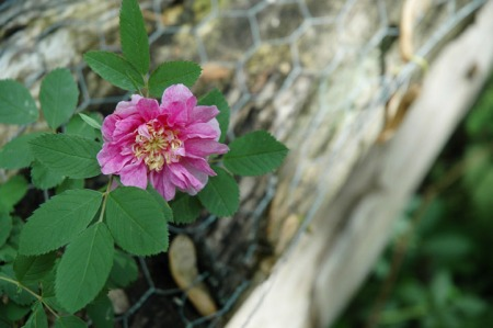 Wild Rose ~ Photo by Patrice