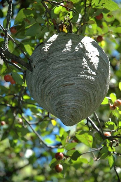 Wasp Nest ~ photo by Patrice