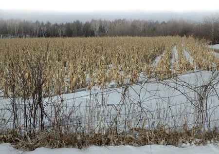 Snowy Corn Fields ~ photograph by Patrice