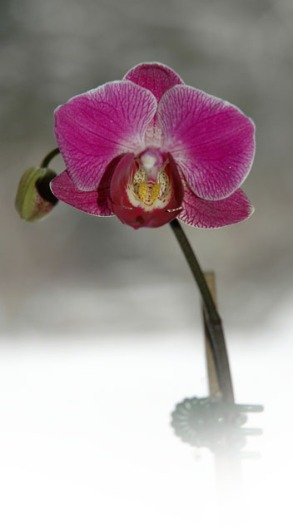 Winter Orchid ~ Photo by Patrice