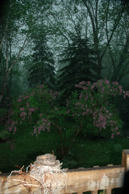 Lilacs in a Storm ~ Photo by Patrice