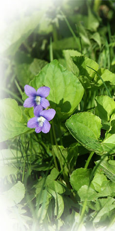 Wood Violets ~ Photo by Patrice