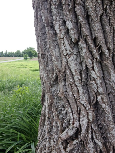 Carolina Tree ~ Photo by Patrice