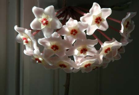 Hoya Flower ~ Photo by Patrice