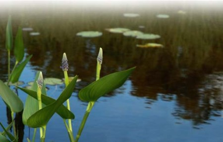 Water Lilies ~ Photo by Patrice