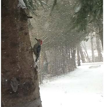 Redheaded Woodpecker on a Snowy Day ~ Photo by Patrice