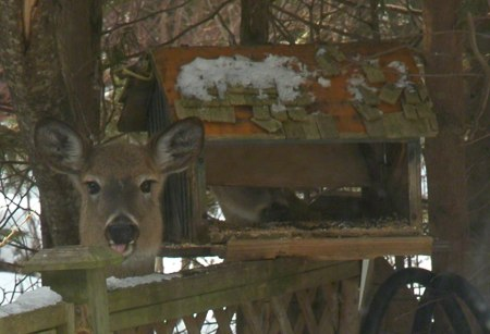 Deer at Feeder ~ Photo by Patrice