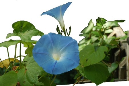 Morning Glories ~ Photo by Patrice