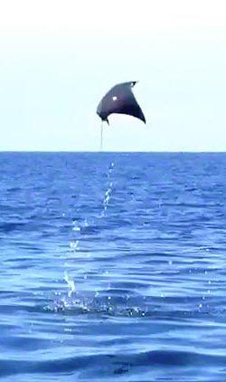 Flying Stingray ~ Photo by Patrice