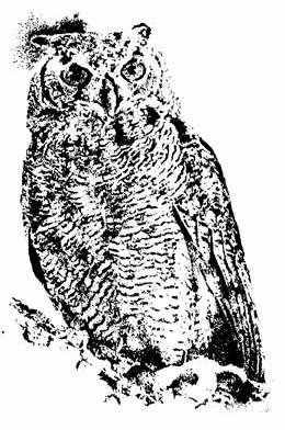 Pen Ink Drawing of an Owl ~ Illustration by Patrice for B.C. Central Credit Union