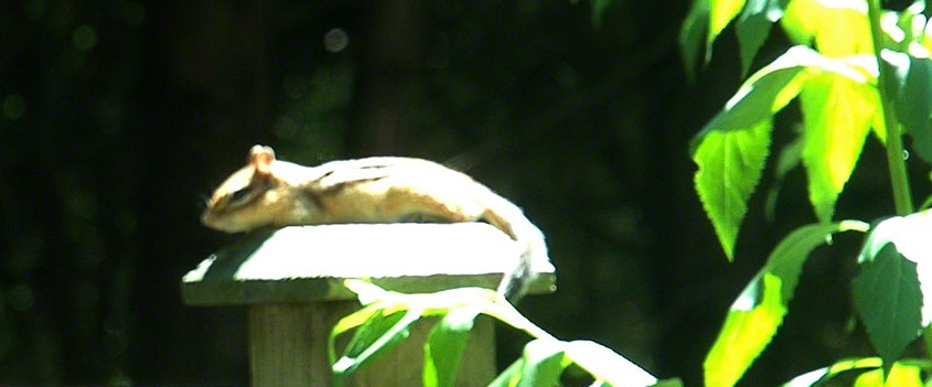 Chipmunk sunning himself ~ Photo by Patrice