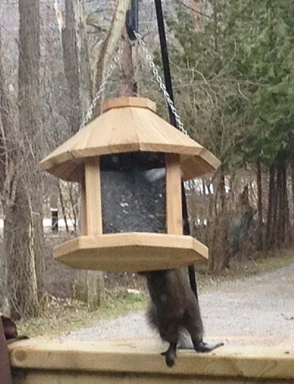 Squirrel reaching bird-feeder ~ Photo by Patrice