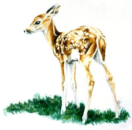 Fawn ~ Illustration by Patrice