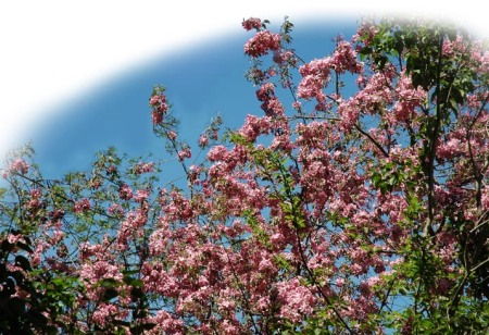 Crabapple Blossoms ~ Photo by Patrice