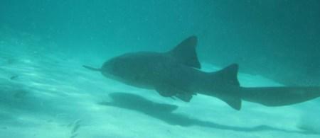 Nurse Shark ~ Photo taken in Punta Cana