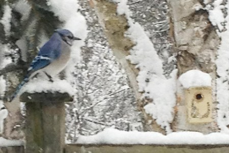 Winter Bluejay ~ Photo by Patrice