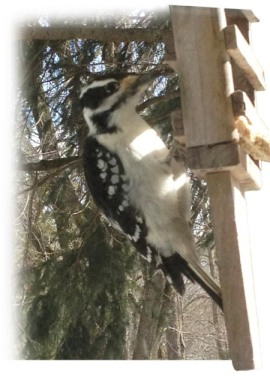 Downy Woodpecker ~ photo by Patrice