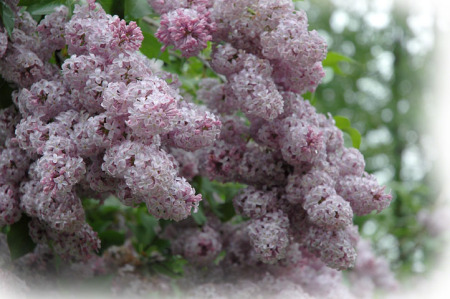 Lilacs ~ photo by Patrice