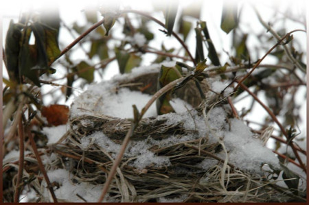 Robin's Nest in snow ~ Photo by Patrice