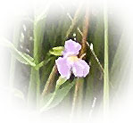 Purple Wildflower - Photo by Patrice