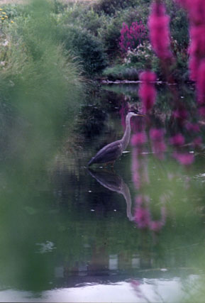 Heron in the Creek ~ Photo by Patrice